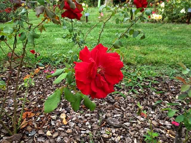 秋のバラ公園_b0064411_05262233.jpg