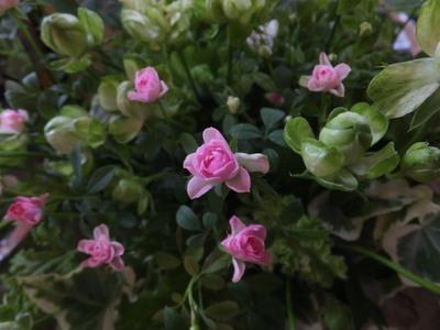 オークリーフ(黄緑色の花)_f0049672_1861743.jpg