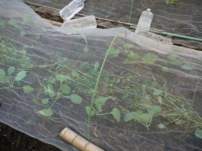 今年もブロッコリー、ハクサイ、キャベツの苗を植え付け_c0014967_1045323.jpg