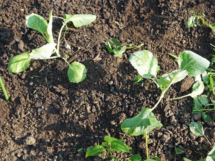 今年もブロッコリー、ハクサイ、キャベツの苗を植え付け_c0014967_10461873.jpg