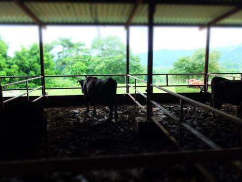 犬猫牛まつり 5:牛_a0180681_2230612.jpg