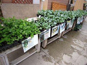 秋冬作の野菜苗続々と入荷_c0141652_1646573.jpg