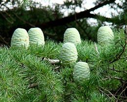 木になった木の卵_b0003474_8392537.jpg