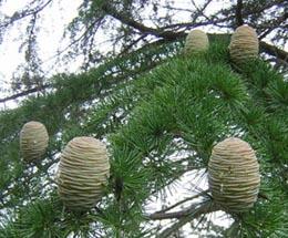 木になった木の卵_b0003474_8401699.jpg