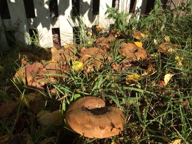 今年の庭のきのこ \'14_a0229904_2073699.jpg