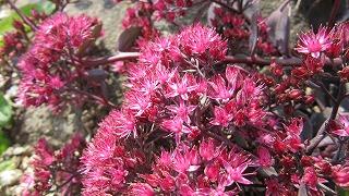 ロックガーデンの花たち24_b0219993_16311397.jpg