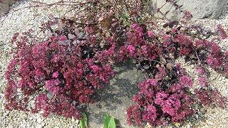 ロックガーデンの花たち24_b0219993_16324728.jpg