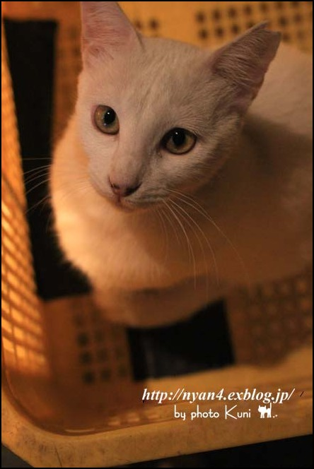 今日の白猫さん_f0166234_5172136.jpg