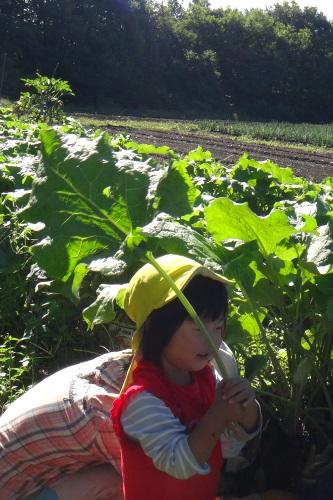 おてがるゴボウの収穫_c0110869_1420430.jpg