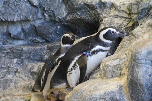 【しながわ水族館】ペンギン_f0348831_16355452.jpg