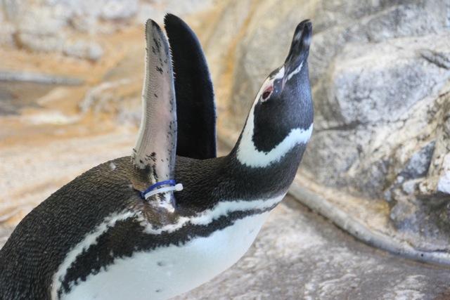 【しながわ水族館】ペンギン_f0348831_1636725.jpg