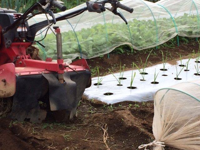 今朝は カリフラワーの定植とネキリ虫にやられた5株のブロッコリーを予備の苗に切り替えです_c0222448_15372911.jpg