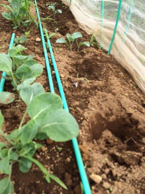 今朝は カリフラワーの定植とネキリ虫にやられた5株のブロッコリーを予備の苗に切り替えです_c0222448_15380236.jpg