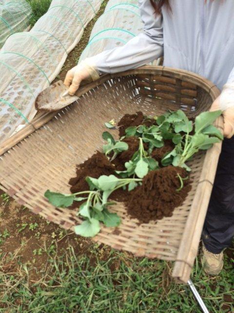 今朝は カリフラワーの定植とネキリ虫にやられた5株のブロッコリーを予備の苗に切り替えです_c0222448_15381126.jpg