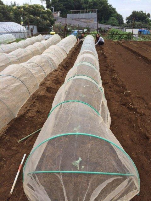今朝は カリフラワーの定植とネキリ虫にやられた5株のブロッコリーを予備の苗に切り替えです_c0222448_15390284.jpg