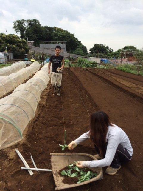 今朝は カリフラワーの定植とネキリ虫にやられた5株のブロッコリーを予備の苗に切り替えです_c0222448_15452895.jpg