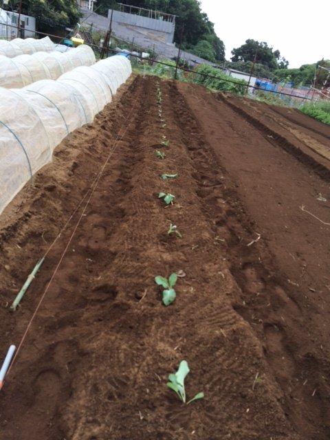 今朝は カリフラワーの定植とネキリ虫にやられた5株のブロッコリーを予備の苗に切り替えです_c0222448_15463781.jpg
