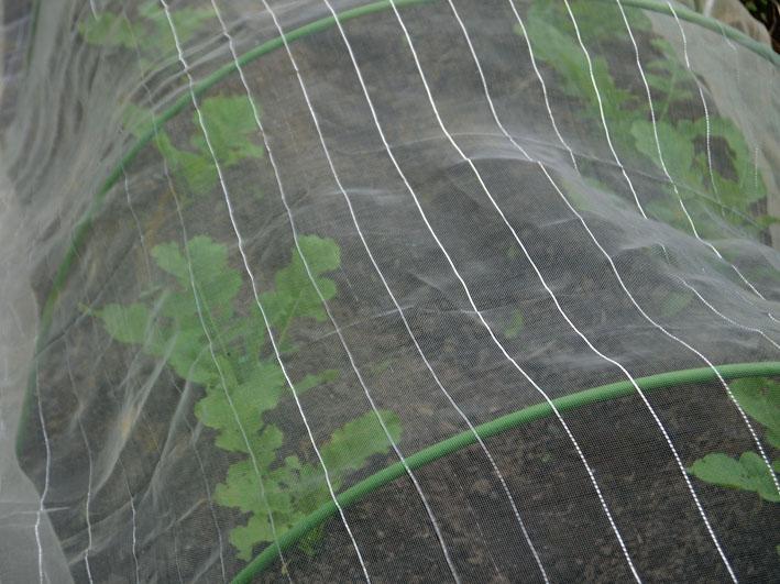 発芽したダイコン一本立ちにし土寄せ、第2陣種蒔き9・15_c0014967_20544162.jpg