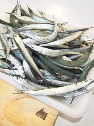 大漁です。~小浜新港さより釣り~_f0331101_13530293.jpg