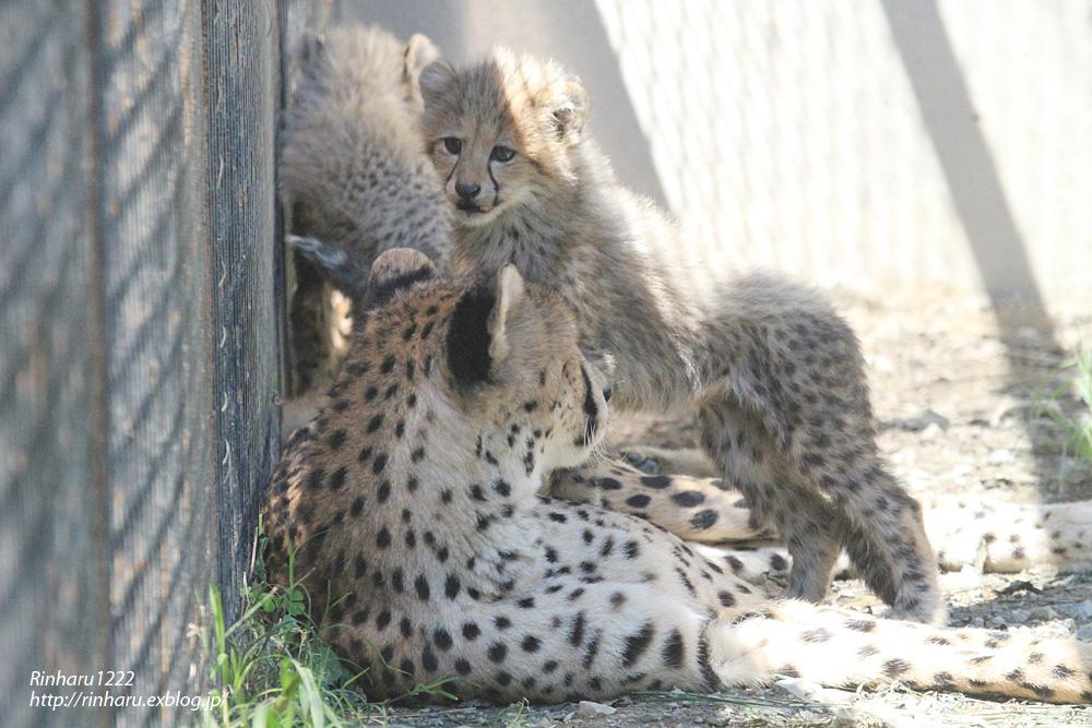 2014.9.14 群馬サファリパーク☆チーターのティアラ母子【Cheetah】_f0250322_2323214.jpg