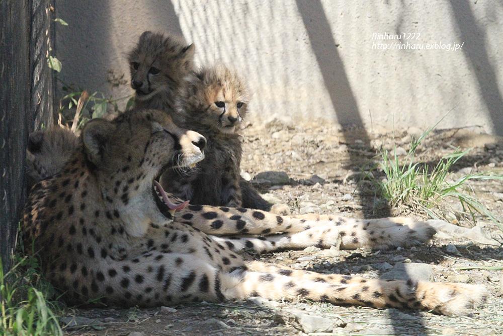 2014.9.14 群馬サファリパーク☆チーターのティアラ母子【Cheetah】_f0250322_23232564.jpg