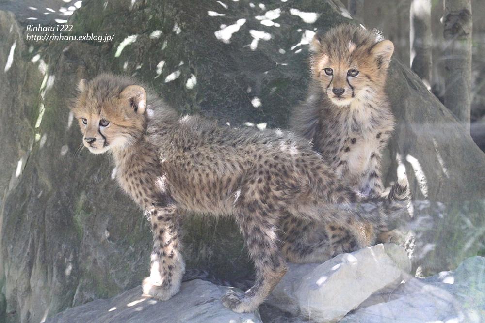 2014.9.14 群馬サファリパーク☆チーターのティアラ母子【Cheetah】_f0250322_2323465.jpg