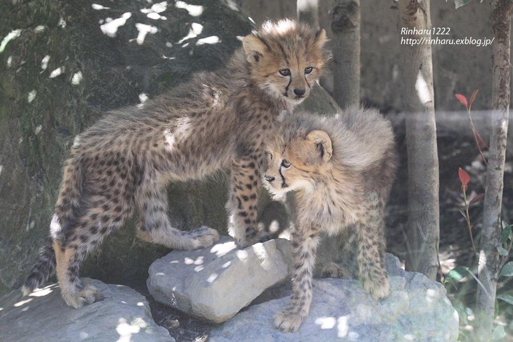 2014.9.14 群馬サファリパーク☆チーターのティアラ母子【Cheetah】_f0250322_23235263.jpg
