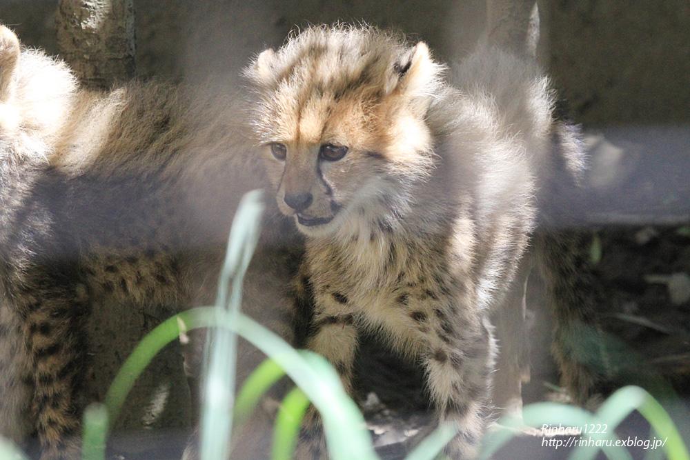 2014.9.14 群馬サファリパーク☆チーターのティアラ母子【Cheetah】_f0250322_2324113.jpg