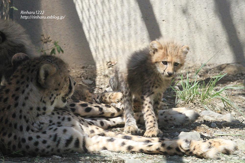 2014.9.14 群馬サファリパーク☆チーターのティアラ母子【Cheetah】_f0250322_2324363.jpg