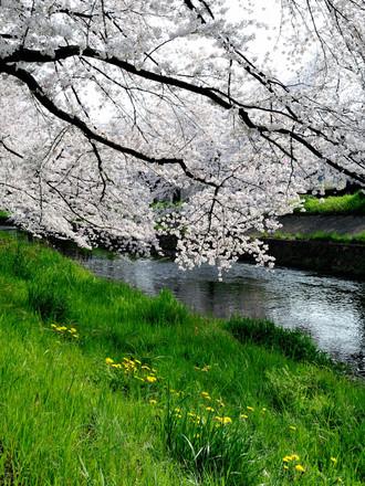 五条川の桜_c0330563_16215843.jpg