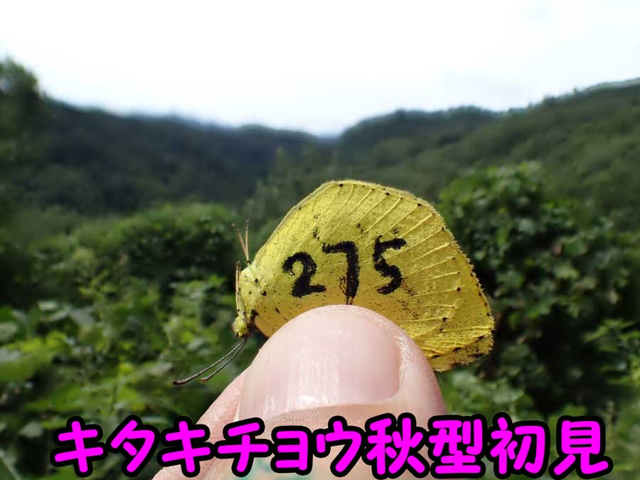 キタキチョウ秋型_e0253104_23043230.jpg