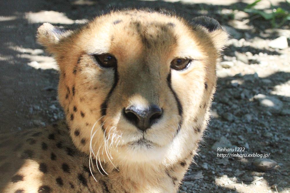 2014.9.14 群馬サファリパーク☆チーターのザン、フェリー、サム【Cheetah】_f0250322_0103898.jpg