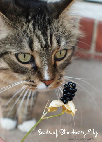 ヒオウギの種を見た猫たちの反応_b0253205_07232171.jpg
