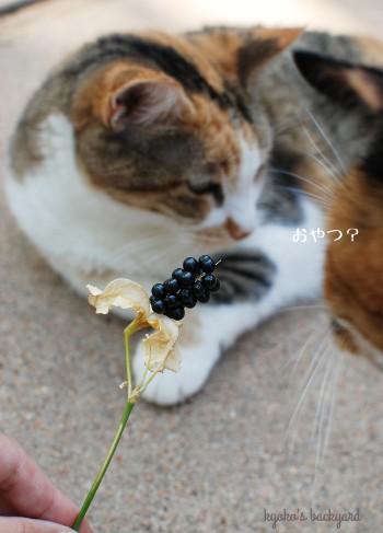 ヒオウギの種を見た猫たちの反応_b0253205_07235699.jpg