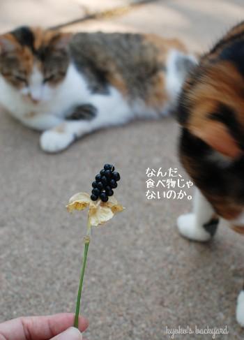 ヒオウギの種を見た猫たちの反応_b0253205_07243228.jpg