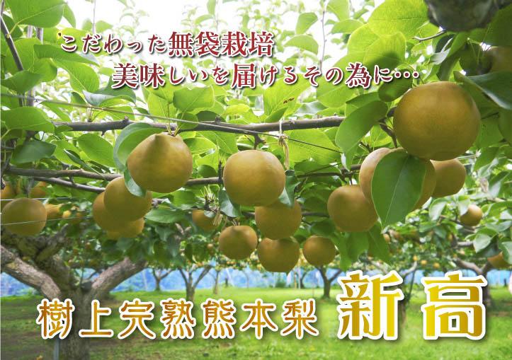 熊本梨 ジャンボ梨『新高』 樹上完熟で本日初出荷しました!!_a0254656_16334440.jpg