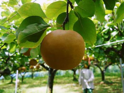 熊本梨 ジャンボ梨『新高』 樹上完熟で本日初出荷しました!!_a0254656_16501432.jpg