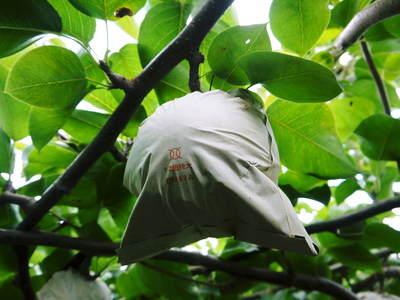 熊本梨 ジャンボ梨『新高』 樹上完熟で本日初出荷しました!!_a0254656_18165310.jpg
