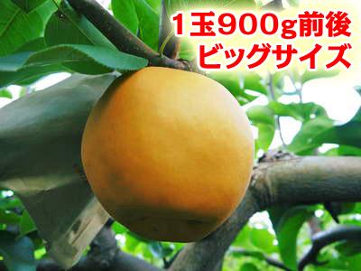 熊本梨 ジャンボ梨『新高』 樹上完熟で本日初出荷しました!!_a0254656_1833466.jpg