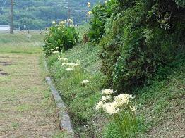 白いヒガンバナと電車_e0175370_10565651.jpg
