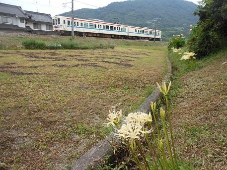 白いヒガンバナと電車_e0175370_1058714.jpg