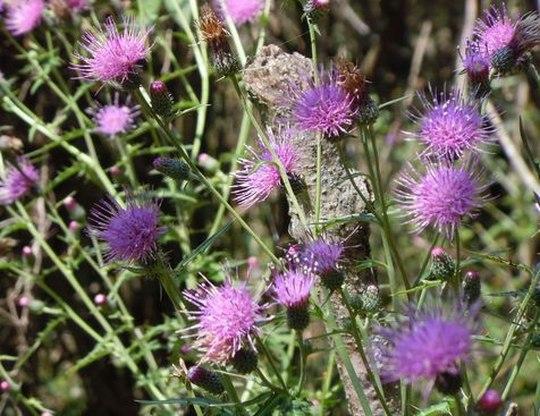 薊の花は ・・・_b0102572_10464297.jpg