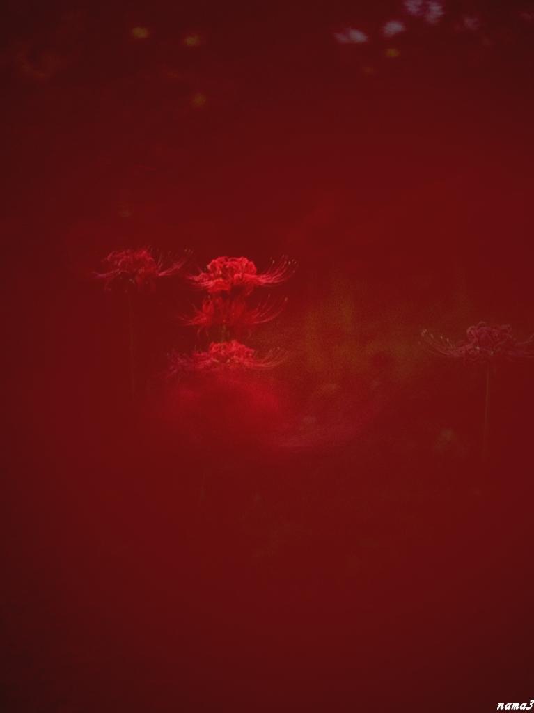 曼珠沙華の小石川植物園_f0224100_22421501.jpg
