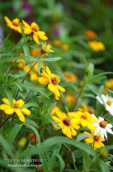 初秋の花たち**_d0083623_22533078.jpg