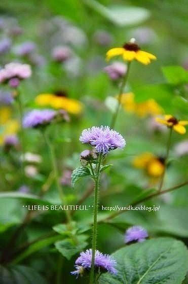 初秋の花たち**_d0083623_22545679.jpg