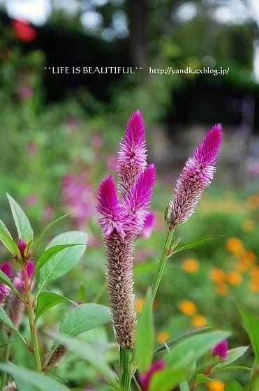 初秋の花たち**_d0083623_22591028.jpg