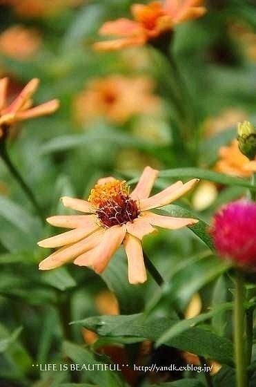 初秋の花たち**_d0083623_22595015.jpg