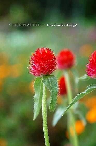 初秋の花たち**_d0083623_2315521.jpg