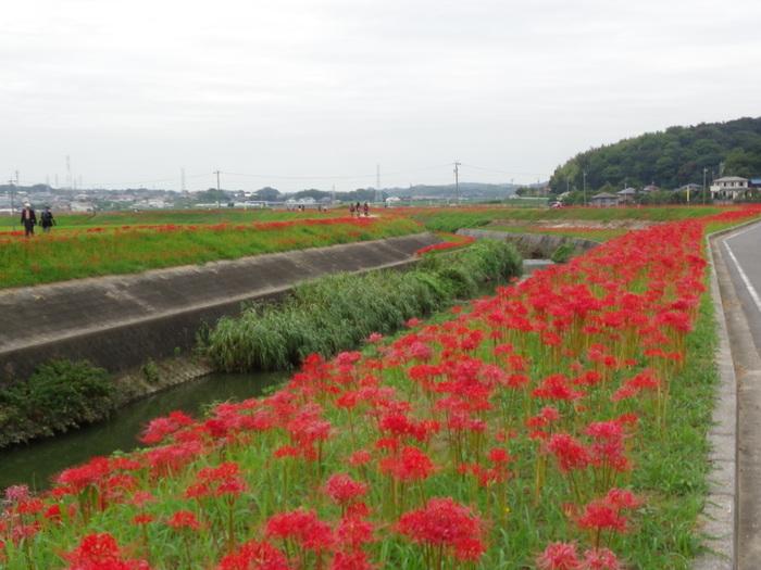 アゲハと矢勝川の彼岸花_d0254540_13155843.jpg