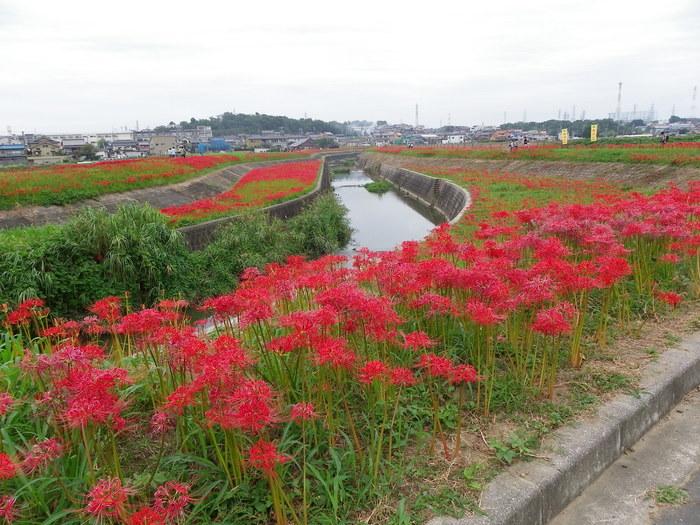 アゲハと矢勝川の彼岸花_d0254540_13163671.jpg
